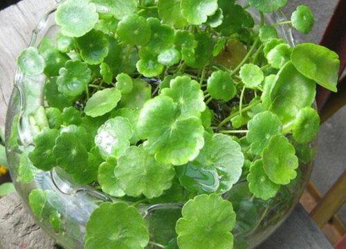 铜钱草如何养护叶片油绿挺拔不容易黄叶