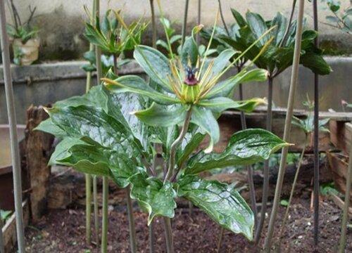 黄精的种植方法和时间 移栽最佳时间是几月份