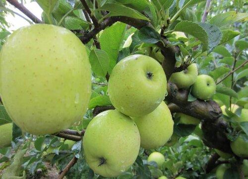 青苹果皮可以吃吗 连皮一起吃有什么作用