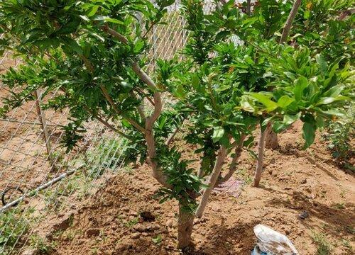 石榴树什么时候移栽成活率高