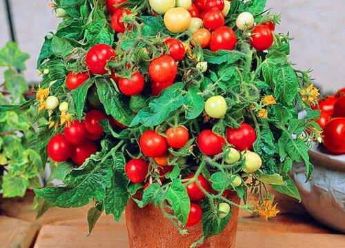 阳台种番茄时间和方法 阳台盆栽番茄注意事项