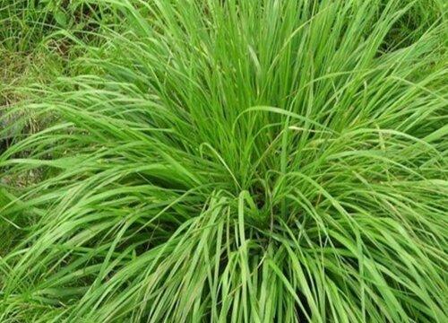 猫草有哪些品种 猫草什么品种最好