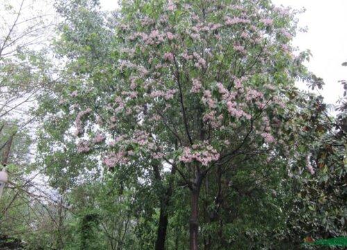 楸树的寓意及风水作用 家里种植楸树的寓意