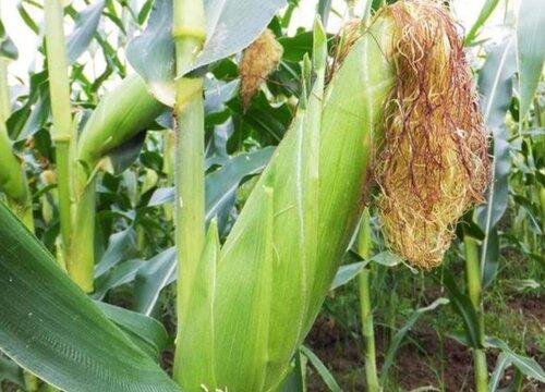 玉米有哪些品种 高产玉米哪个品种好