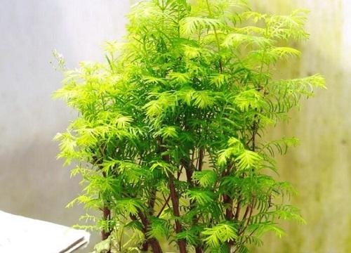 水杉盆景怎么修剪好看 修剪枝叶的方法与技巧