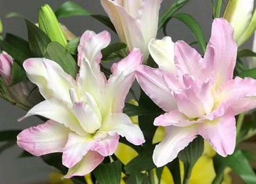 百合花怎样种植才能多长花苞 种植技术与栽培管