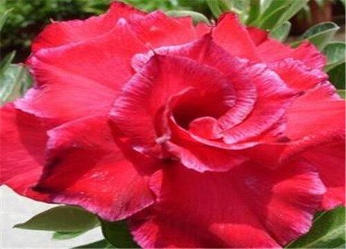 沙漠玫瑰如何养护花开爆盆