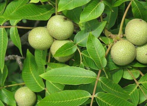 核桃树有公母之分吗 为什么有的树不开花