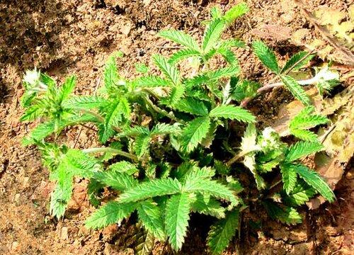 林下种植什么药材好 适合林下种植的中药材品种