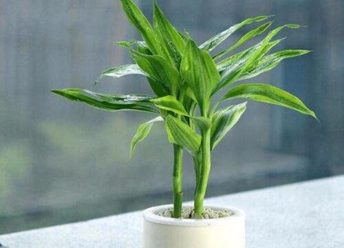 寓意发财的植物 代表发财寓意的植物小盆栽