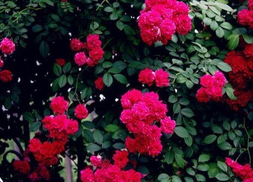 红木香花哪个品种好 甜蜜红木香特点与图片