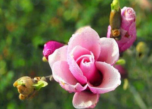 辛夷花和玉兰花的区别图片 是一种花吗