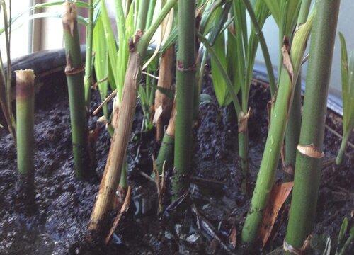 竹子属于花还是草 属于草本植物吗