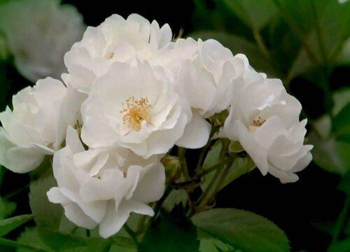 蔷薇花不开花什么原因