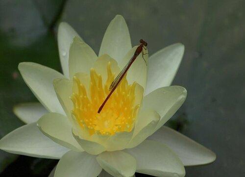 莲花代表什么象征意义  代表什么寓意与含义