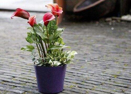 马蹄莲盆栽2