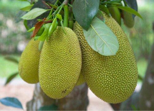 菠萝蜜是哪里产的水果 盛产于哪个地方