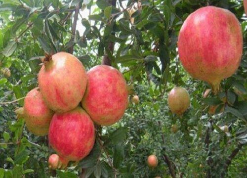 石榴树哪个品种好 目前石榴什么品种最好