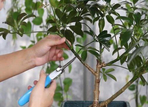 鹅掌柴怎么剪枝 修剪方法图解
