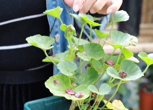 天竺葵夏天可以剪枝吗 什么时候修剪最合适