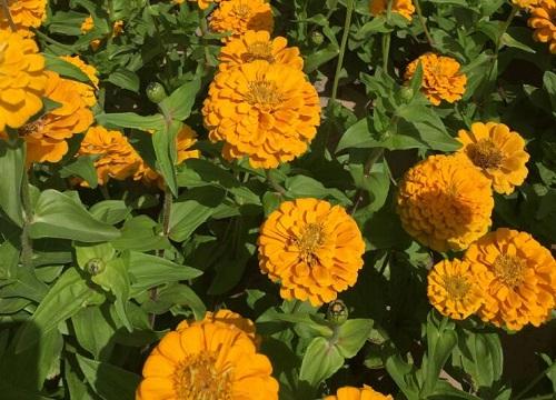 百日草种子的种植方法及时间 一年四季都能播种吗