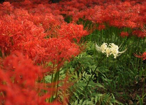 红色彼岸花有毒吗 叶子有毒吗