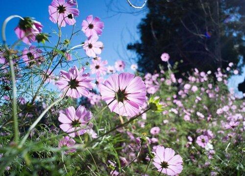 波斯菊种子的种植方法和时间 什么时候播种最好