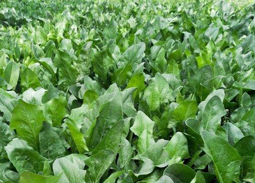 菠菜什么季节种植最好 什么时间种植最佳