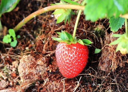 草莓1(12)