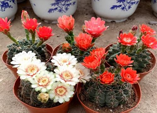 绯花玉哪个品种好看 哪种花大颜色漂亮