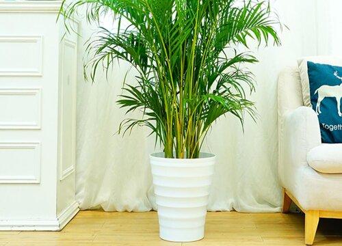 凤尾竹的风水禁忌 室内摆放有什么风水讲究