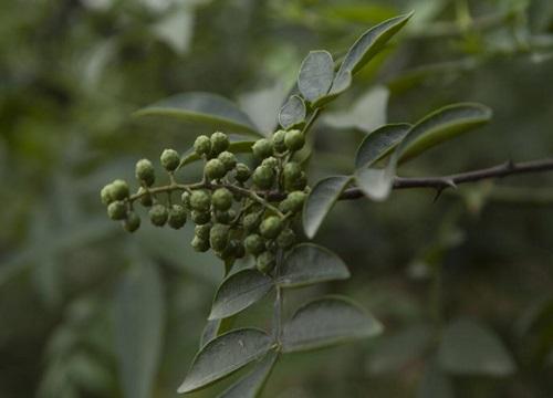 无刺花椒树哪个品种好 什么品种无刺花椒产量最高