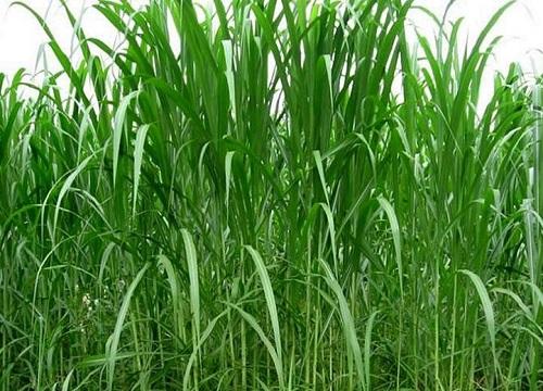 皇竹草有种子吗 可以种子播种种植吗