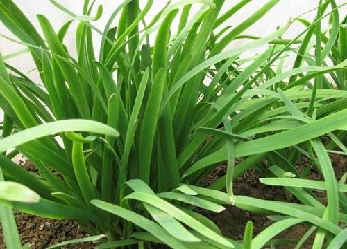 韭菜种子的种植方法 韭菜籽播种时间与步骤