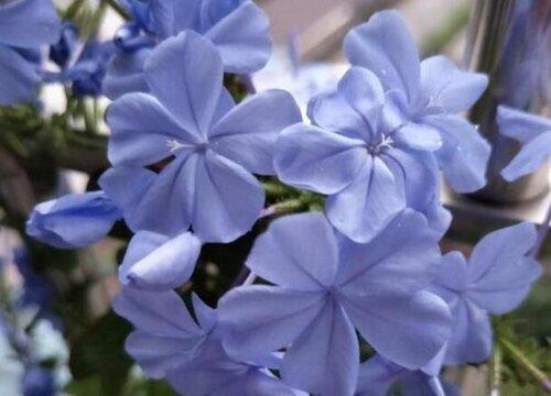 蓝雪花如何促花整个秋天有花看