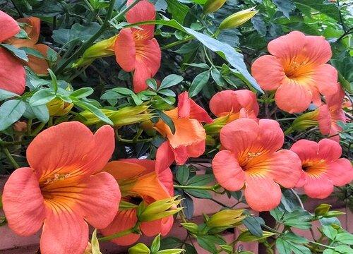 凌霄花哪个品种最好看 凌霄花的种类及图片