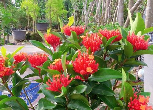 龙船花的特点样子 开花的花序类型及形态特征