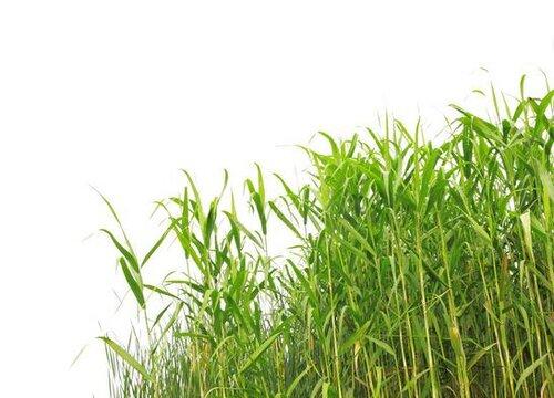 芦苇有种子吗 靠什么传播种子