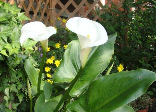 马蹄莲种球几月份种植最好 适合什么季节种