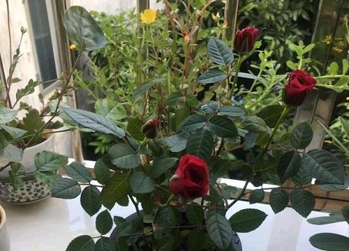 玫瑰适合什么土壤种植