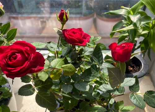 玫瑰盆栽几天浇一次水最为合适