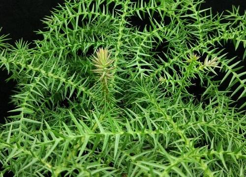 南洋杉的风水禁忌 南洋杉盆景对家庭风水怎么养