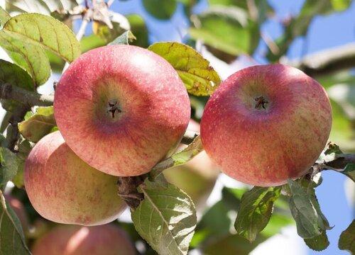 苹果树夏天可以剪枝吗 什么时候剪枝好