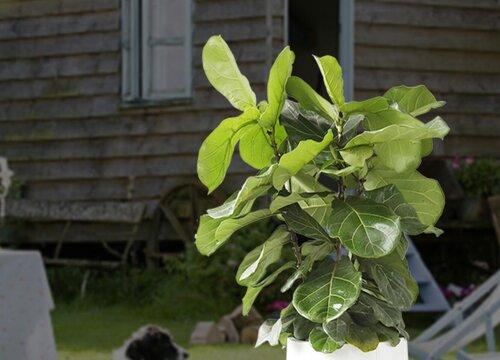 琴叶榕怎么养护猛爆根狂长叶
