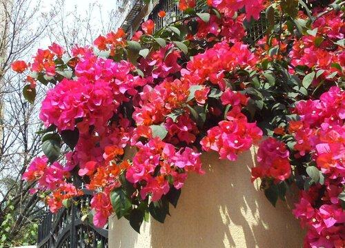 三角梅什么品种好看又能勤开花 最勤花品种排行榜