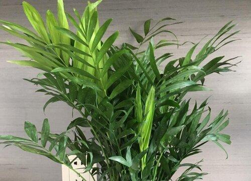 冬季室内散尾葵如何养新芽不断长出