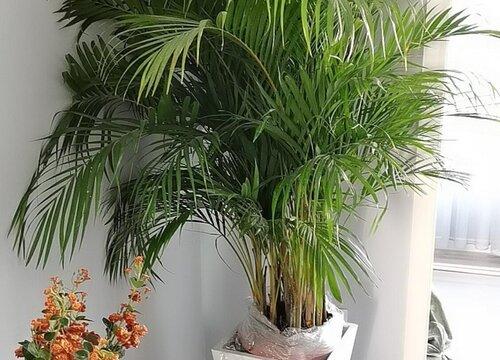 散尾葵适合在室外养吗 日常养殖要点