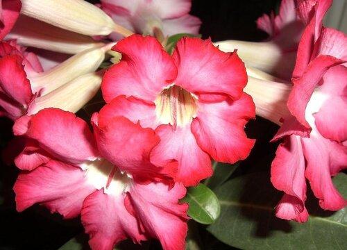 入秋后沙漠玫瑰怎么养护就可以快速长出花苞