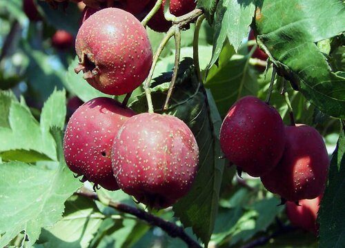山楂树什么品种好果实大 最甜最大的山楂品种