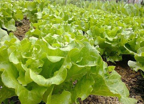 耐涝蔬菜品种 不怕涝的蔬菜有哪些品种
